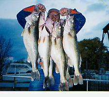 Large stringer of walleyes>